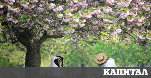 Илюстрация Разцъфнали черешови дръвчета в парка на Гринуич, Великобритания Увеличаване